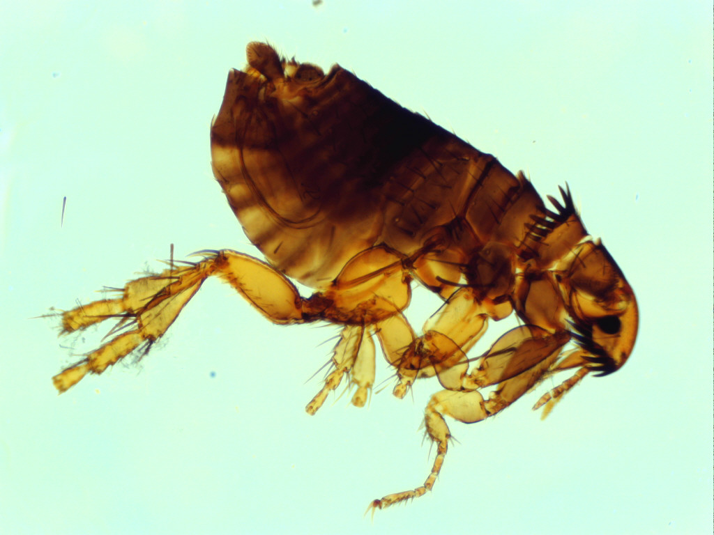 micro photograph of cat flea